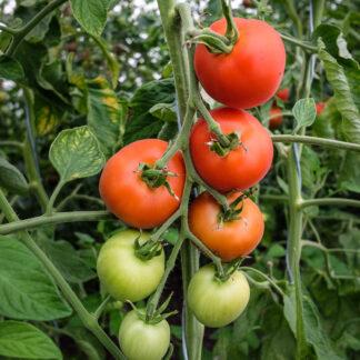Tomat Matina