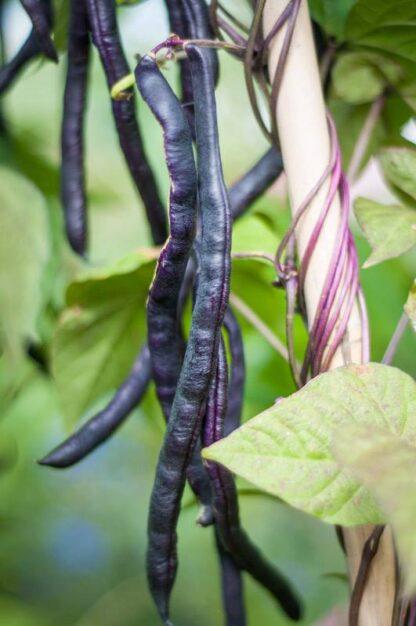 Stang-brekkbønne Blauhilde