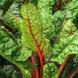 Mangold Rød – Rhubarb Chard