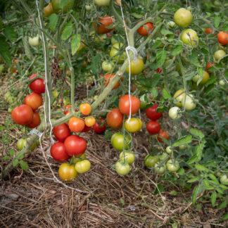 Tomat Norderås Busk