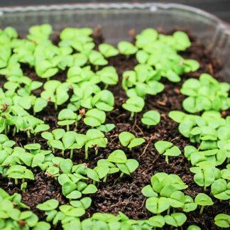 Basilikum – Mikrogrønt