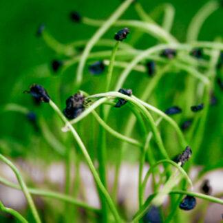 Kinagressløk – Mikrogrønt