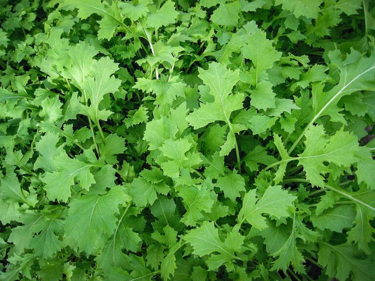 Asiasalat Namenia – Mikrogrønt