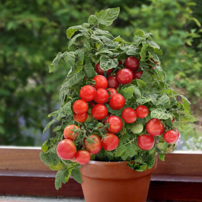 Krukketomat Bogus Fruchta