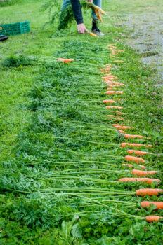 Utvalg av gulrot til frøproduksjon