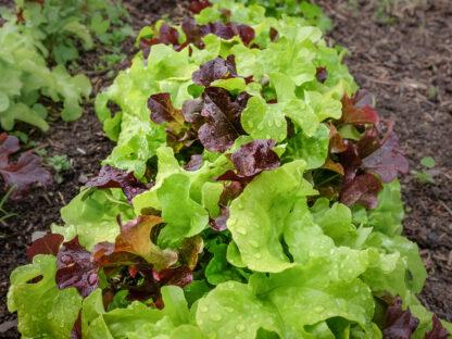 Salatblanding Til Balkongkasser