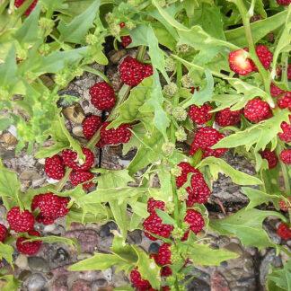 Jordbærspinat