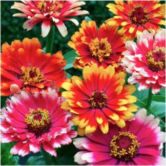 Sinnia Carroussel - flerfarget