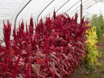 Bladamarant Red Garnet