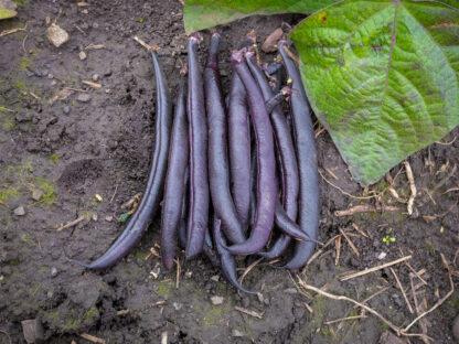 Brekkbønne Purple Teepee