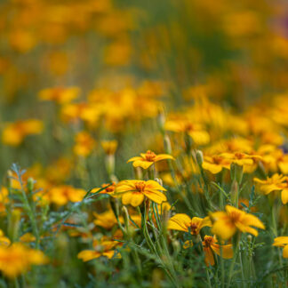 Tagetes Ground Control